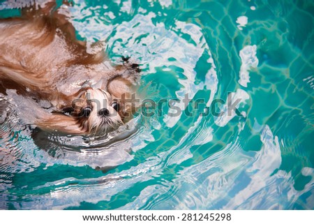 Cute Shih Tzu is swimming at the pool