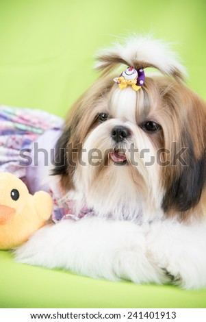 Cute shih tzu puppy is crouching on green background