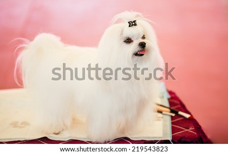 Cute Shih Tzu White Toy Dog Indoors On Pink Background