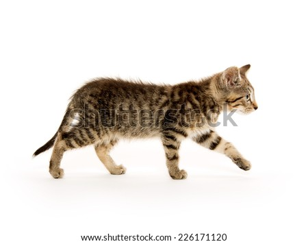 Cute short hair baby tabby kitten on white background - stock photo