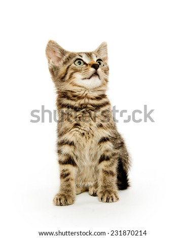 Cute short hair baby tabby kitten on white background