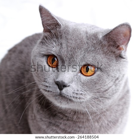 Cute short hair gray British cat