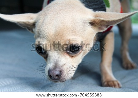 Cute short haired cream chihuahua with extra big ears