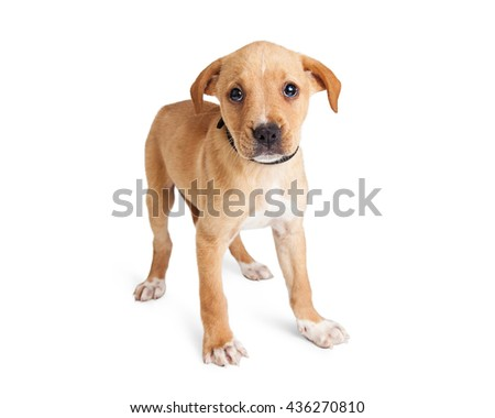 Cute shy little light brown color puppy standing on white studio background - stock photo