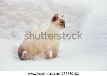 Cute siamese cat walking outdoor on the snow