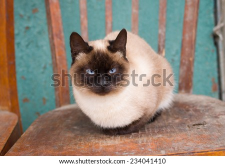 Cute siamese cat with blue eyes having rest on the old chair - stock photo