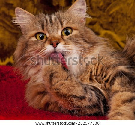 Cute siberian cat licks its paw after feeding over grey background - stock photo