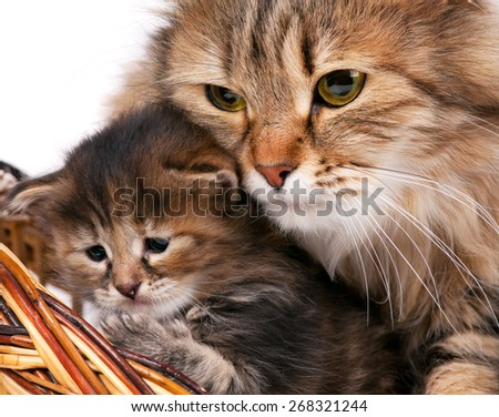 Cute siberian cat with little kitten isolated over white background - stock photo