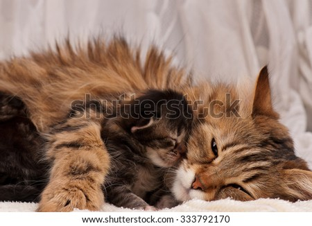 Cute siberian cat with little kitten over white background - stock photo