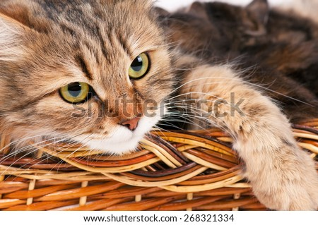 Cute siberian cat with little kittens isolated over white background - stock photo