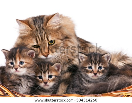 Cute siberian cat with little kittens isolated over white background