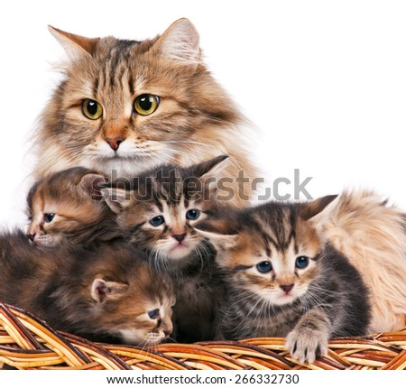 Cute siberian cat with little kittens isolated over white background. Focus on the cat - stock photo