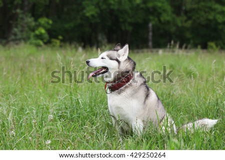 Cute siberian husky is sitting in the grass. The dog is resting after a long run.