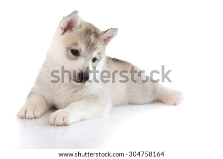Cute Siberian husky laying on white background