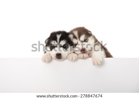 Cute siberian husky puppies above banner, isolated on white background - stock photo