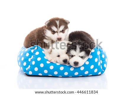Cute siberian husky puppies lying in pet bed on white background isolated - stock photo
