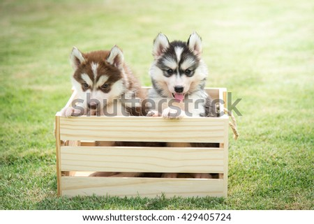 Cute siberian husky puppies playing in wooden crate on green grass