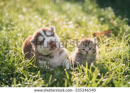 Cute siberian husky puppy and tabby kitten lying on green grass - stock photo
