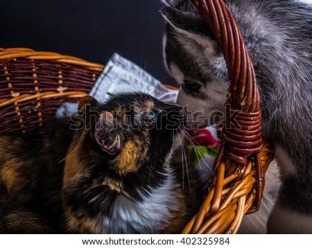 Cute siberian husky puppy  cuddling  cute kitten in the basket - stock photo