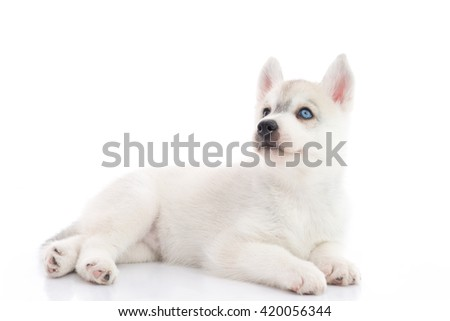 Cute siberian husky puppy lying  and looking up on white background isolated