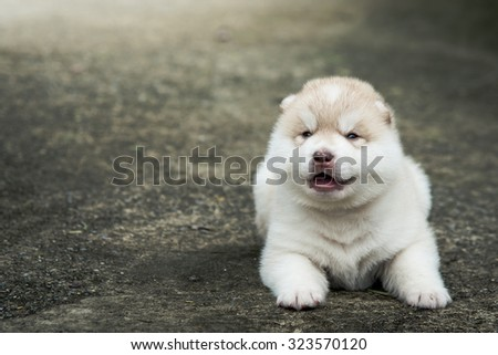 Cute siberian husky puppy lying on concrete floor after raining,vintage filter