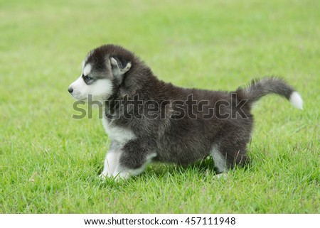 Cute Siberian husky puppy on green grass