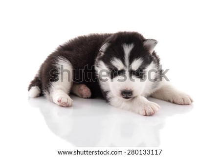 Cute siberian husky puppy on white background isolated