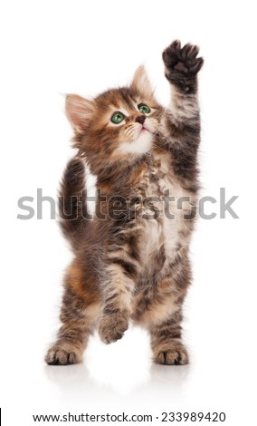 Cute siberian kitten isolated on a white background. Focus on eyes - stock photo