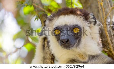 Cute Sifaka lemur, endemic animal in Zombitse National Park, Madagascar. - stock photo
