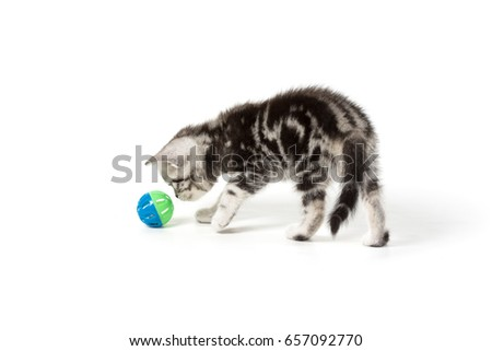 Cute silver tabby kitten playing with toy on white background isolated.