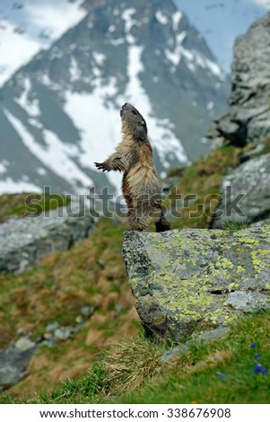 Cute sit up on its hind legs animal Marmot, Marmota marmota, sitting in he grass, in the nature habitat, Grossglockner, Alp, Austria,  - stock photo