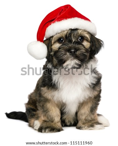 Cute sitting Bichon Havanese puppy dog in a Christmas - Santa hat. Isolated on a white background