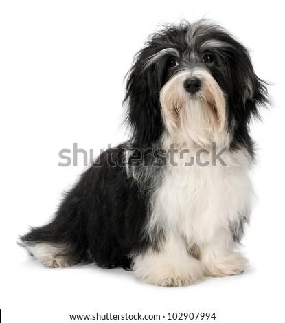 Cute sitting Bichon Havanese puppy dog, isolated on white background - stock photo