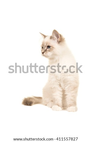 Cute sitting birman kitten watching to the left isoalted on a white background