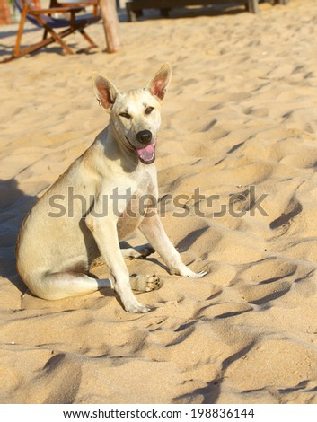 cute sitting dog - Phu Quoc breed  - stock photo
