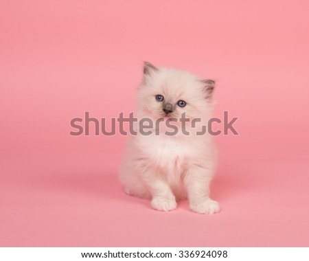 Cute sitting rag doll kitten on a pink background