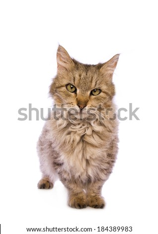 Cute Skookum cat isolated on white background