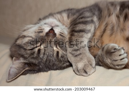Cute sleeping gray domestic cat closeup portrait