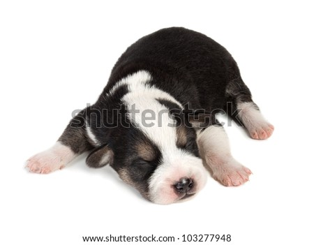 cute sleeping little spotted havanese puppy dog isolated on white background