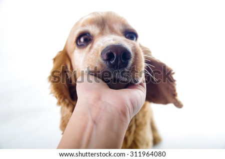 Cute sleepy relaxing English Cocker Spaniel puppy in front of a white background with hand scratching. - stock photo