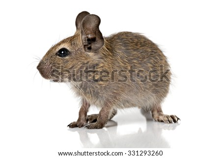 cute small baby rodent degu pet full size closeup view isolated on white - stock photo