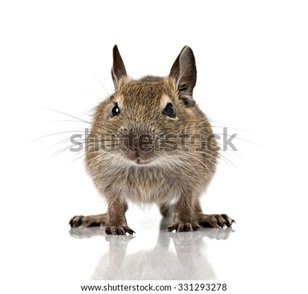 cute small baby rodent degu pet full size closeup view isolated on white