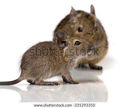 cute small baby rodent degu pet with its mom closeup view isolated on white - stock photo