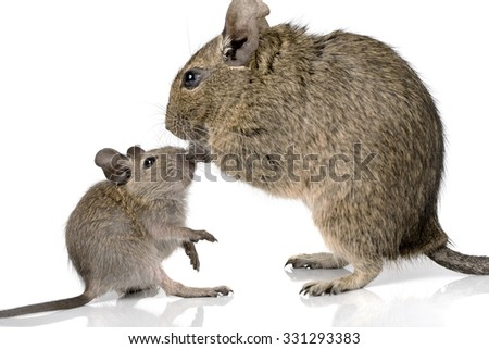 cute small baby rodent degu pet with its mom closeup view isolated on white