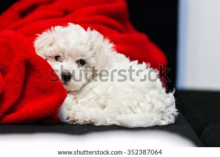 cute small bichon frise puppy posing indoors, notice shallow depth of field - stock photo