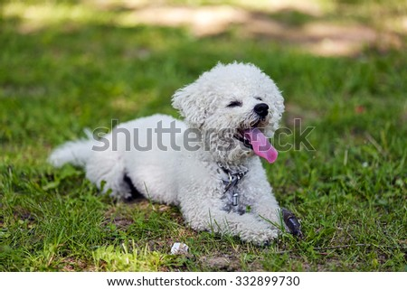cute small bichon laying in grass in the park, notice: shallow depth of field