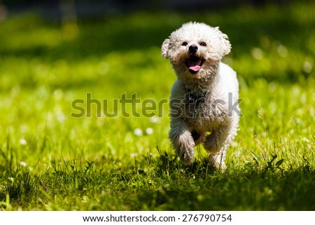 cute small bichon running in the park, notice shallow depth of field - stock photo