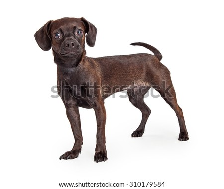 Cute small black color Beagle and Chihuahua crossbreed dog standing to the side and looking forward into the camera