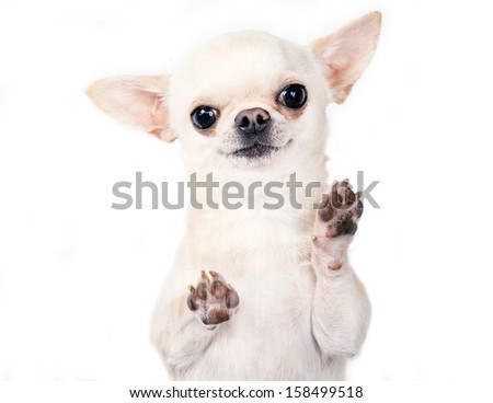 cute small dog standing and looking at camera - stock photo