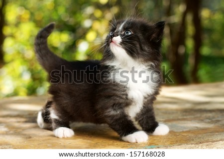 cute small kitten walking at wooden board against green summer background. portrait of small black cat with white breast and paws - stock photo
